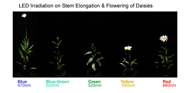 LED Irradiation on Stem Elongation and Flowering